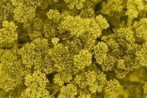 bakgrund av gula blommande blommor foto