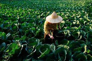 kvinnlig trädgårdsmästarehand som ger kemiskt gödselmedel till kålgrönsak foto