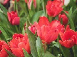 tulpan blommor i trädgården foto