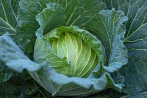 närbild grönt färskt kålhuvud foto