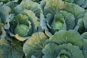 gröna färska kål mognar huvuden växer i gården fältet foto
