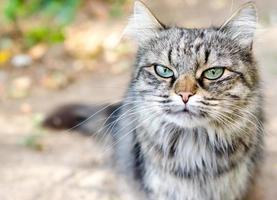 närbild av en tabby katt foto