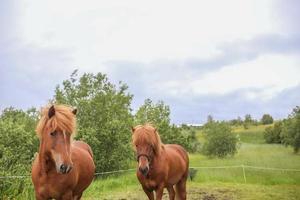 två isländska hästar foto