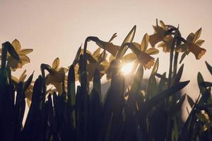 gul narciss på våren foto