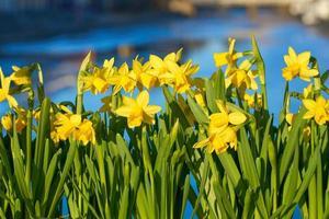 grupp gula påskliljor foto