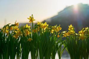påskliljor i solljuset foto