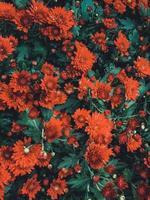 röda krysantemumblommor foto