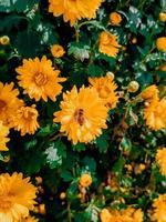 grupp gula krysantemum foto
