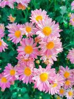 grupp av rosa blommor foto