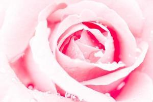 närbild av en röd ros med vattendroppar foto