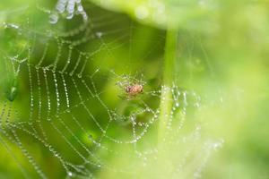 spindel på en spindelnät med vattendroppar foto