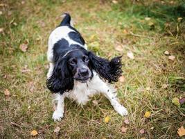 ryska spaniel porträtt av en hund foto