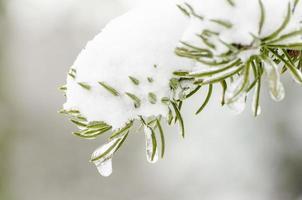 snö på gran foto