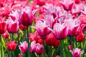 levande rosa tulpaner foto