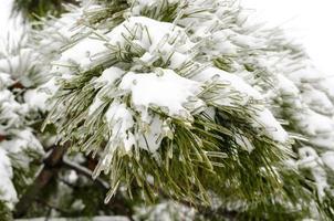 snö på tallnålar foto