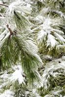 snö och tallnålar foto