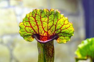köttätande växt närbild foto
