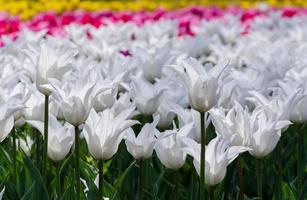 fält av färgglada tulpaner foto