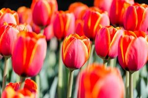 röda och gula tulpaner foto