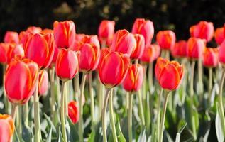 fält av röda och gula tulpaner foto