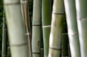 grön bambu närbild foto