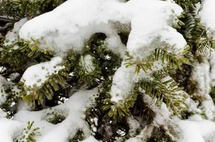 snö på gröna grangrenar foto