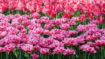 fält av rosa hybridtulpaner foto