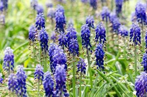 fält av blå hyacintblommor foto