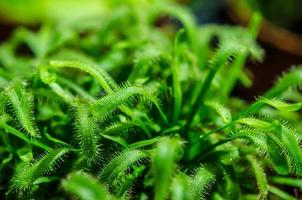 grön sundew närbild foto