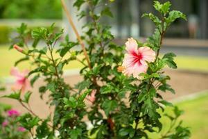 selektivt fokusera på kronbladen av rosa hibiskusblomma med suddig bakgrund av trädgården foto