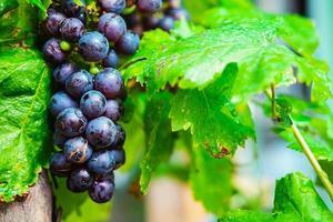 färska druvor på vinstocken foto