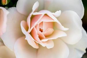 närbild av en rosa och vit ros