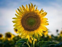 närbild av en solros foto