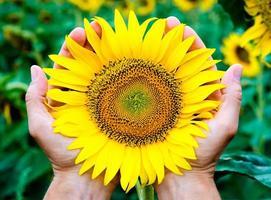 händer som håller en solros foto