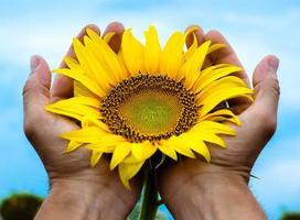 solros i händerna foto