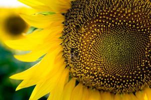 bi på en solros foto