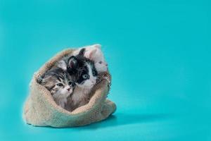 tre kattungar i en säck på en turkos bakgrund