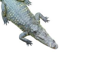 ovanifrån av en krokodil som sover på vit bakgrund foto
