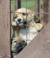 valp som kikar ut ur staketet
