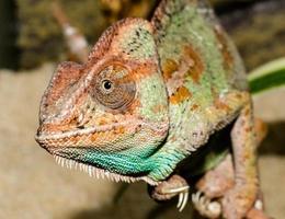 närbild av en färgglad kameleont