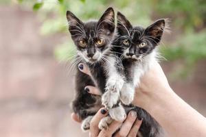 två svarta och vita kattungar i händerna