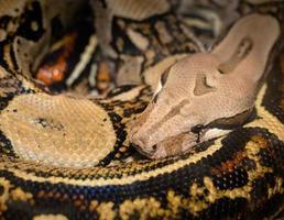 närbild av en orm lindad upp foto