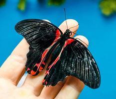 svart och röd fjäril foto