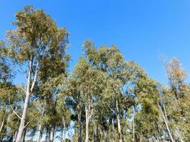 träd mot en klarblå himmel foto
