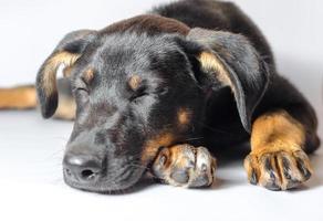 svart och brun hund som sover foto