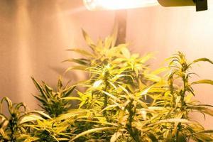 växande medicinska marijuana knoppar under konstgjord belysning foto