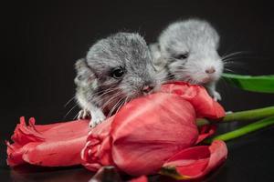 två chinchillor och röda tulpaner foto