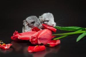 röda tulpaner och chinchillor foto