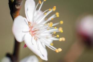 närbild av en vit blomning foto