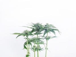 blommande cannabisbuske på vit bakgrund foto